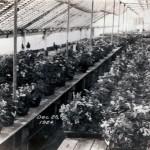 Hayashi Mixed plant house 1924
